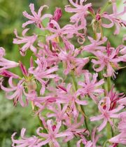 Lily Nerine-light Pink