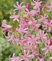 Lily Nerine-light Pink