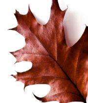 Oak Leaves-red