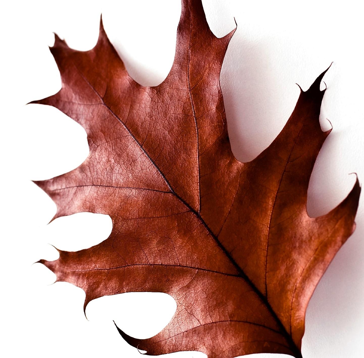 oak-leaf-red