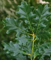 Oak Leaves-green