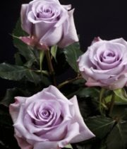 Lavender Ocean Song 50cm Roses, SA