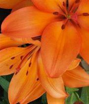 Lily L.A. Hybrid-orange