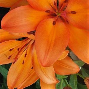 wholesale flowers | hybrid Lily-orange