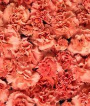 Carnations-orange