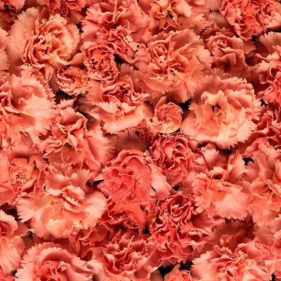 wholesale carnation orange