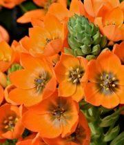 Star Of Bethlehem, Dubium-orange