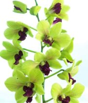 Orchid, Dendrobium-green
