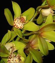 Orchid, Cymbidium, Mini-light Green