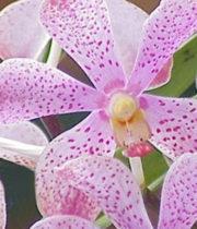 Orchid, Mokara-light Pink