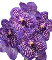 Orchid, Vanda Single Stem-purple