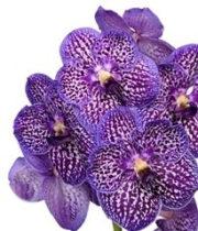 Orchid, Vanda Single Stem-purple