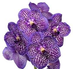 orchid-vanda-purple