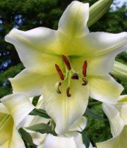 Lily Sonata, Concadora-yellow