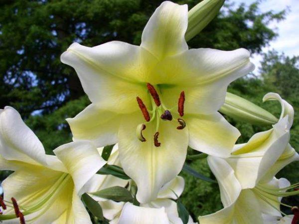 wholesale flowers | oriental Lily-concardor