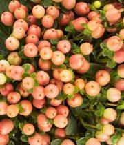 Hypericum-peach