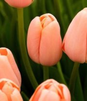 Tulips, Greenhouse-peach