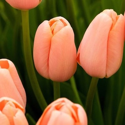wholesale flowers | tulips greenhouse peach