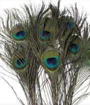 Feathers, Peacock