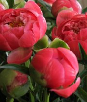 Wholesale Flowers | Peony- Coral