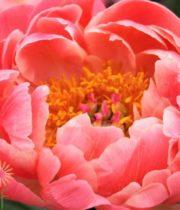 Peony, USA-apricot/coral