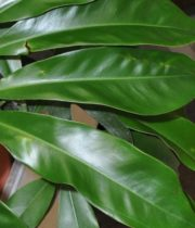 Philodendron Leaf, Fun Bun
