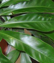 Philodendron Leaf, Fun Bun