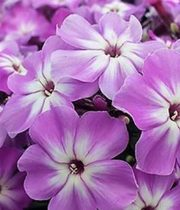Phlox-lavender