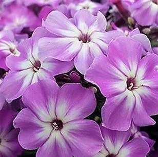 wholesale flowers | phlox- lavender