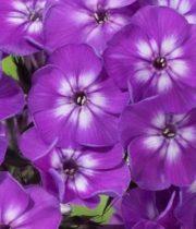 Phlox-purple