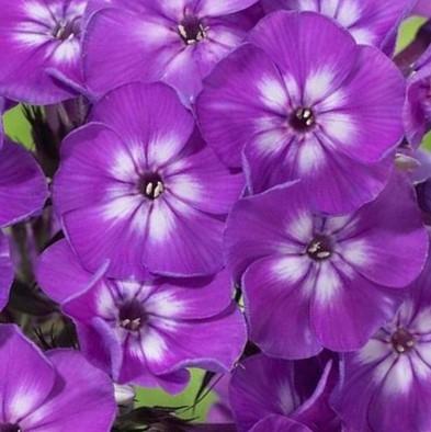wholesale flowers | phlox- purple