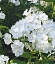 Phlox-white