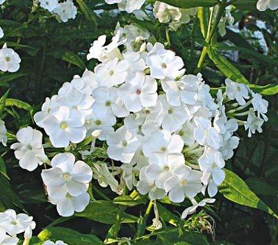 wholesale flowers | phlox- white