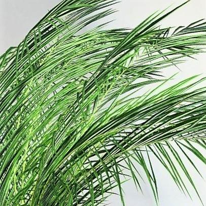 phoenix-palm-