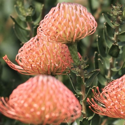 wholesale flowers | protea pincushion peach