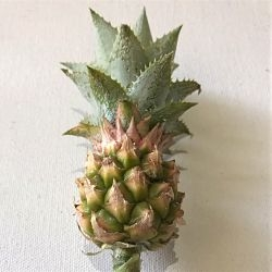 pineapple-mini-stem