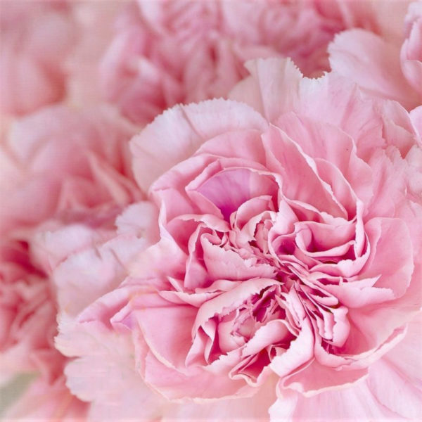 wholesale carnation pink