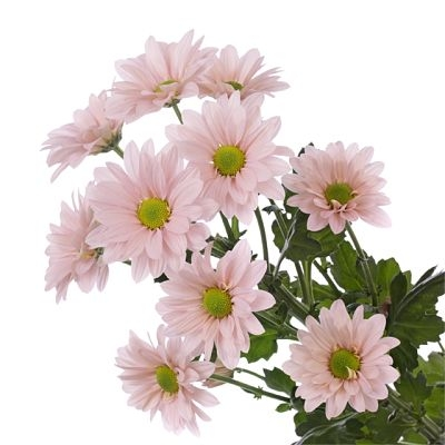wholesale flowers | spray mums daisy pink