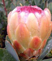 Protea, Peach Grandicolor