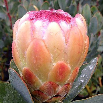 wholesale flowers | protea- grandicolor peach