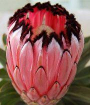 Protea, Pink Mink-pink/black