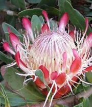 Protea, Sugar Bush-pink