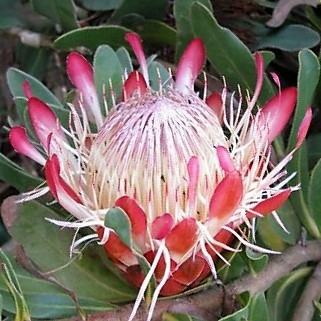 wholesale flowers | protea sugarbush