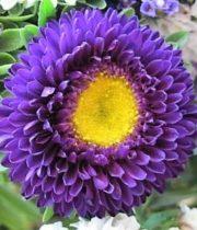 Aster, Matsumoto-purple