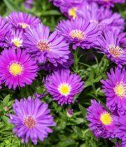 Aster, Montecasino-purple