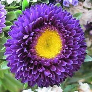 aster-matsumoto-purple