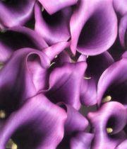 Callas, Mini-purple