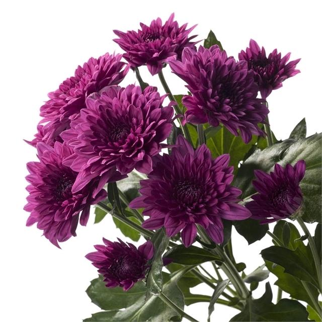 Buy fresh,purple cushion mums for weddings, parties