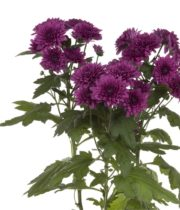 Mums, Spray-Cushion-purple