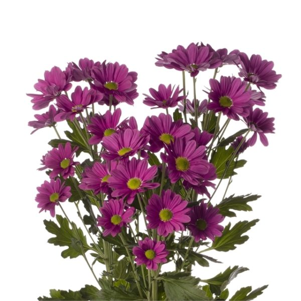 Buy the freshest purple daisy mums available for weddings